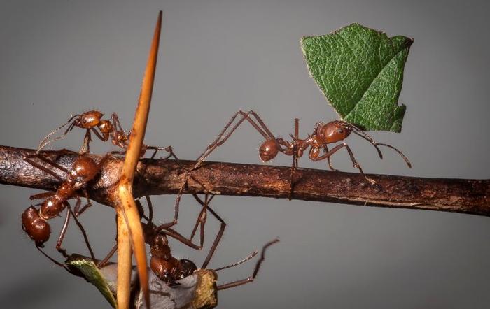 Использование феромонов муравьев для отлова вредителей сельскохозяйственных культур